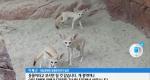 국제적 멸종위기종 사막여우의 한국 정착기 [09/30]