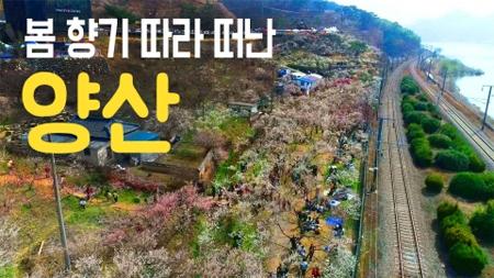 [구석구석 코리아] 제130회 봄 향기 따라 떠난, 양산